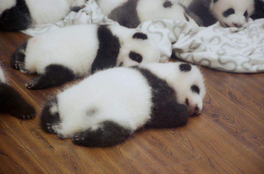 Panda Animal Themes Baby Panda Cute Indoors  No People Panda PANDA ♡♡ Sleeping Sleeping Panda White Black