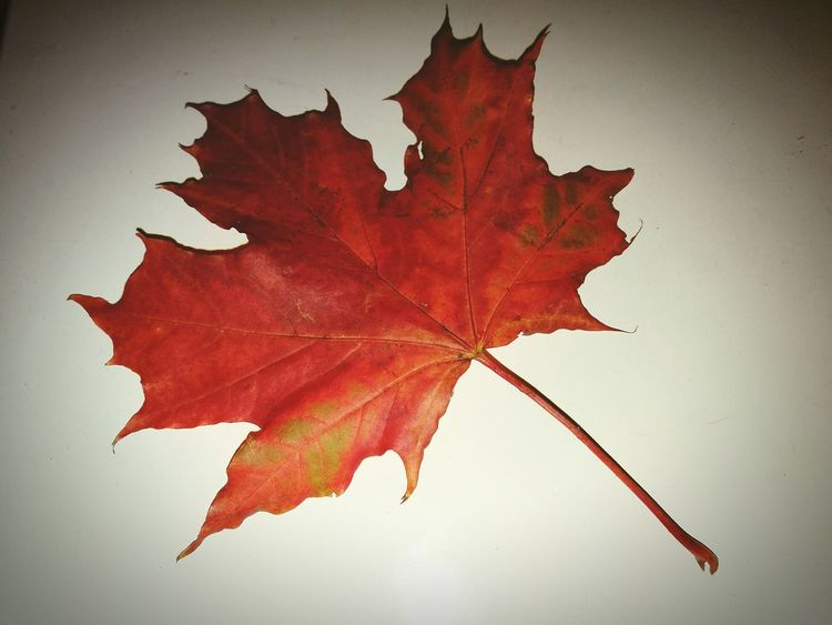 Maple Leaf Red No People листик Studio Shot листочек Flowers, Nature And Beauty октябрь