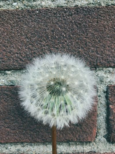 Flower Dandelion Nature Fragility Day Outdoors Softness Close-up No People Growth Beauty In Nature Seed Uncultivated Freshness Flower Head IPhone