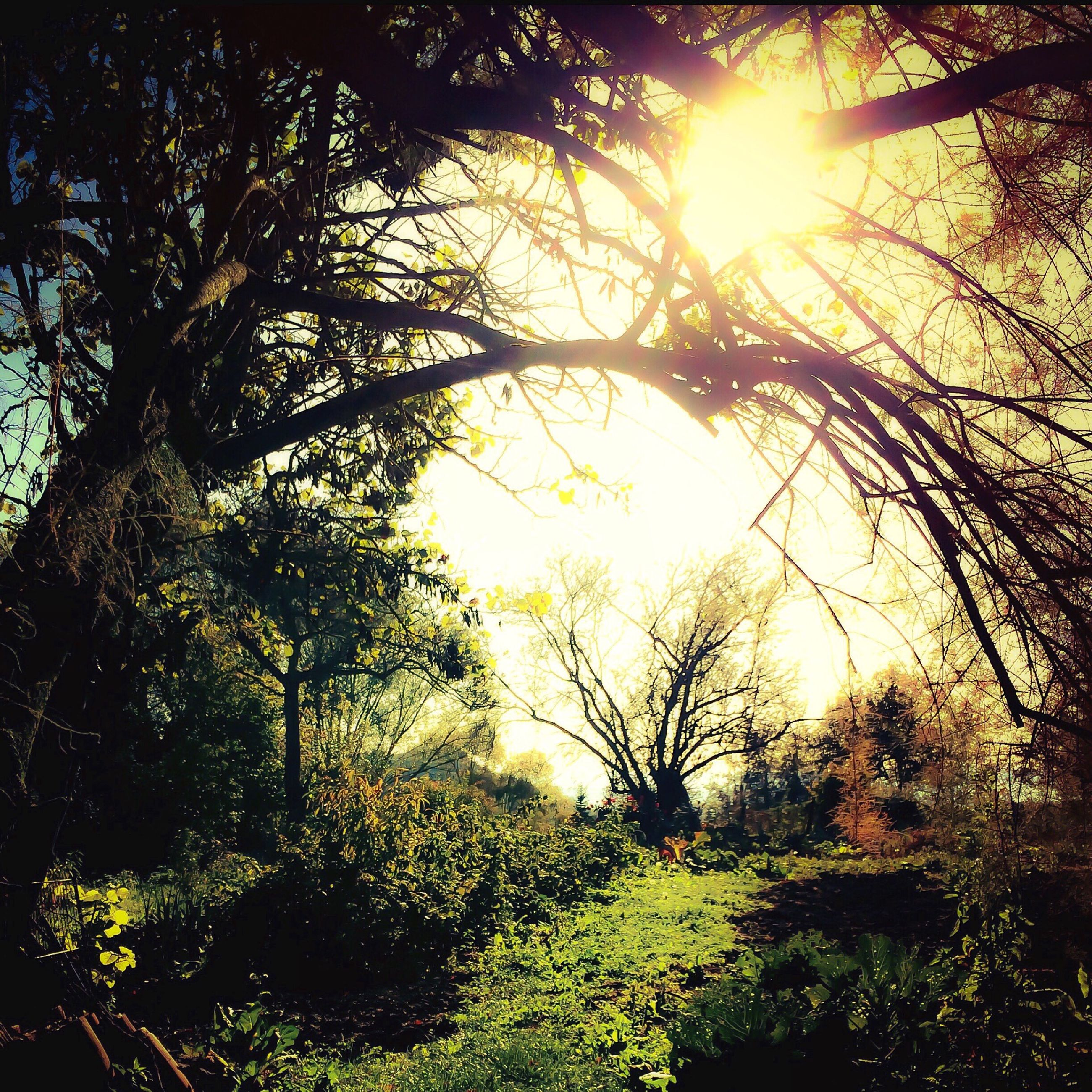 sun, sunbeam, tree, sunlight, lens flare, growth, tranquility, nature, beauty in nature, tranquil scene, grass, scenics, branch, sunset, bright, field, sunny, back lit, sky, plant