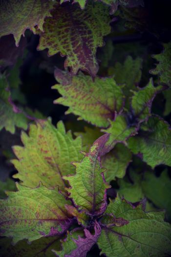 Coleus foliage Foliage Plant Close-up Beauty In Nature Freshness Green Color Nature Full Frame Coleus Coleus Leaf Colorful Foliage Purple Leaves Purple And Green