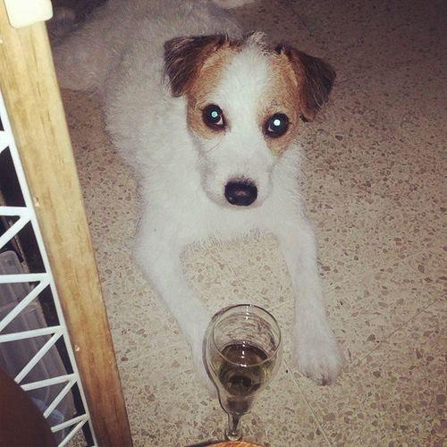 Refill please ?????? Ozzyosbourne Jackrussellterrier Jackrussell Jrt dog doglover instadog pet lovemydog champagne