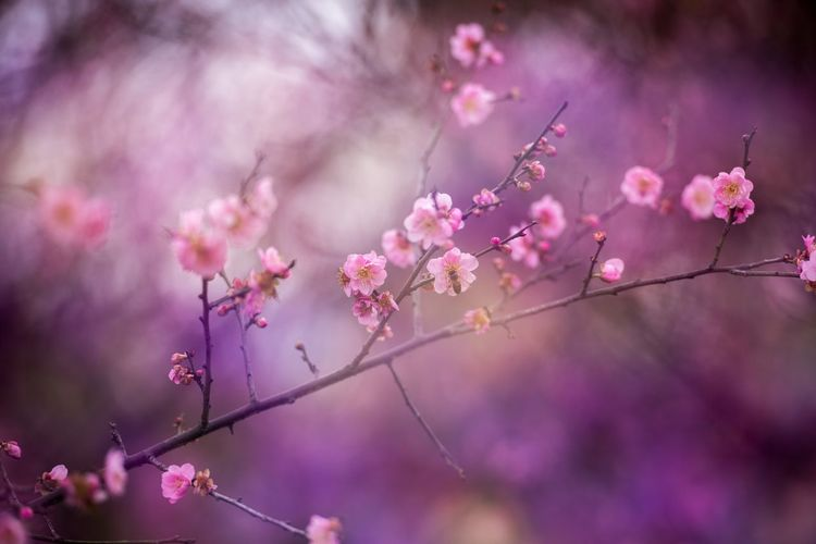 Pink Color Flower Flowering Plant Plant Beauty In Nature Freshness Growth Fragility Vulnerability  Blossom Tree Nature Close-up Branch Outdoors Focus On Foreground