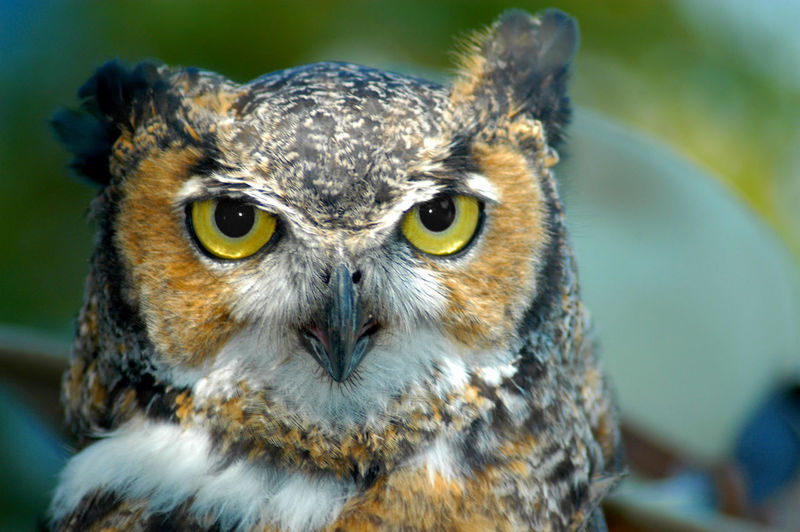An owl found at a nature preserve in Tacoma Washington USA Animal Themes Animal Wildlife Animals In The Wild Bird Bird Of Prey Close-up Day Eyes Focus On Foreground Looking At Camera Nature No People One Animal Outdoors Owl Piercing Eyes Portrait Yellow Eyes