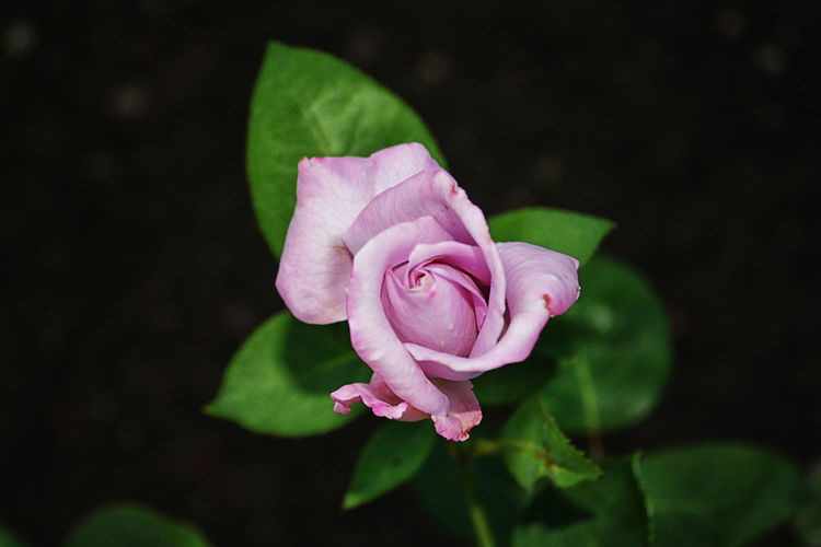 Beauty In Nature Black Background Blooming Close-up Day Flower Flower Head Fragility Freshness Growth Leaf Nature No People Outdoors Periwinkle Petal Pink Color Plant Rose - Flower EyeEmNewHere
