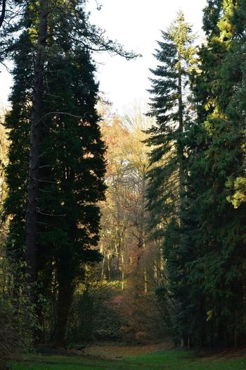 Arboretum Sonian Forest Evenig Light Tree Plant Nature Growth Beauty In Nature Sky No People Tranquility Land Day Outdoors Tranquil Scene Green Color Non-urban Scene Forest Scenics - Nature Sunset Sunlight Idyllic Coniferous Tree