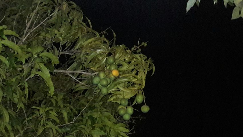 Nature Beauty In Nature Tree Landscape Outdoors Growth Branch Night No People Close-up Astronomy MANGO BLANCO AT ITS BEST