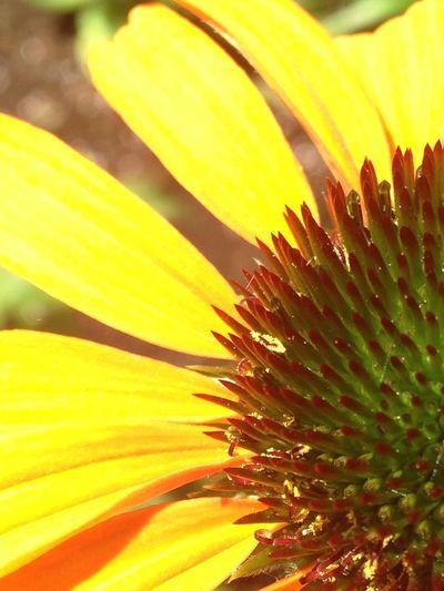 Flower Yellow Flower Yellow Jaune🌻 Jaune Fleur Proche Saint-Jérôme Canada Near
