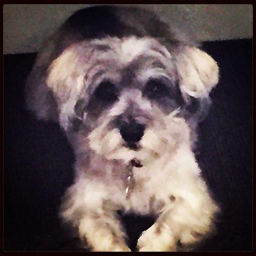I Love My Dog Miniature Schnauzer Pooter
