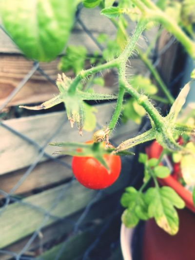 Plant Growth Food And Drink Nature Day Beauty In Nature Food Tiny Snail Tomato Little Sweetie Yellow Snailhouse