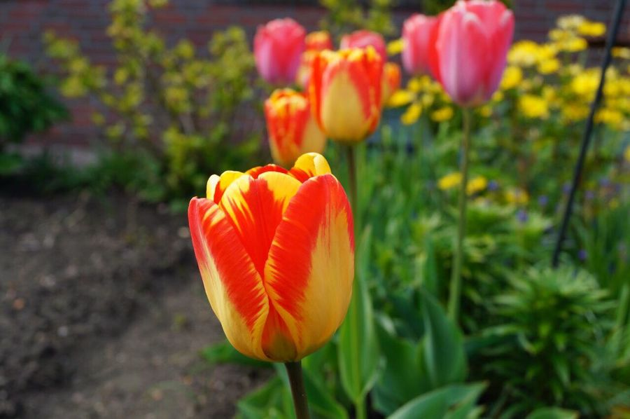 Flower Growth Petal Flower Head Freshness Plant Beauty In Nature Fragility Nature Blooming Orange Color No People Outdoors Tulip Day Focus On Foreground Close-up Springtime Freshness