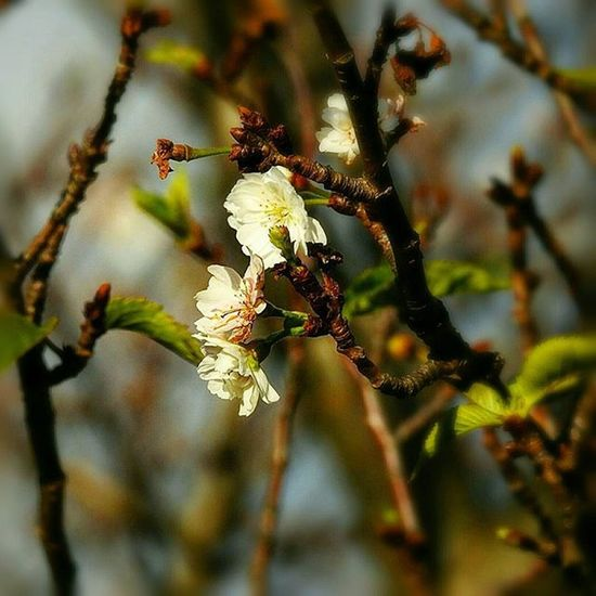 🌸 お早うございます🎶😃 Goodmorning🎶(* ´ ▽ ` *)ノ ※ 晴れ☀( 8 ºc)Mostly Sunny ※ この時期の小さい小さい桜🎶☺ Small small cherry this time🎶☺ ※ 花 Petals 植物 Plants 日本 Japan 自然 Natur 綺麗 Beautiful 癒し Comfort 休息 Rest 安らぎ Peace Zen Happiness Positivity Flowers Flower 😚 Flower_Japan_nagoya_mitu