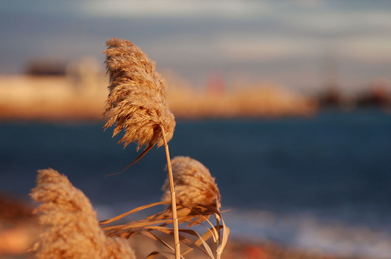 Close-up of wilted plant by sea against sky during sunset