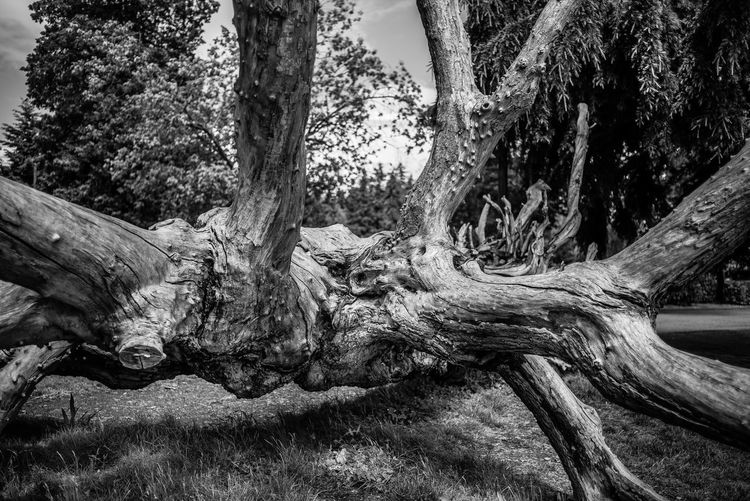 Tree Plant Trunk Tree Trunk Forest Nature Land Growth Day Environment No People Tranquility Beauty In Nature Scenics - Nature Root Outdoors Non-urban Scene Branch Field Tranquil Scene WoodLand Bark Driftwood