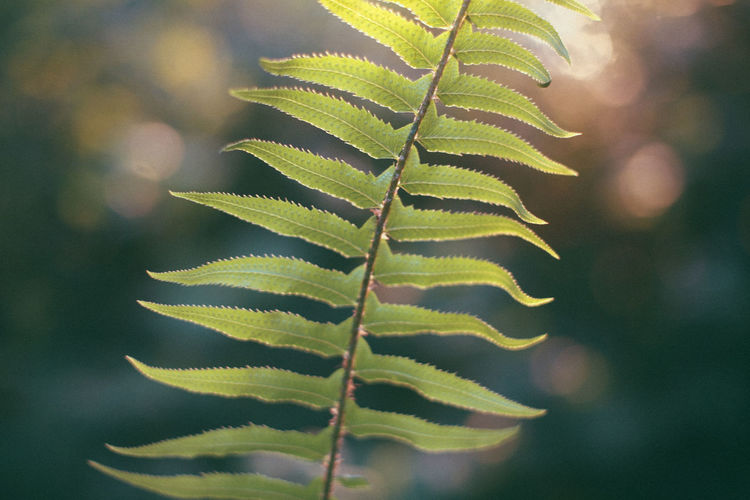 Magic Hour PNW Pacific Northwest  Seattle Seattle, Washington Washington Washington State Beauty In Nature Close-up Fern Focus On Foreground Fragility Freshness Green Color Growth Leaf Nature No People Outdoors Plant Sunset