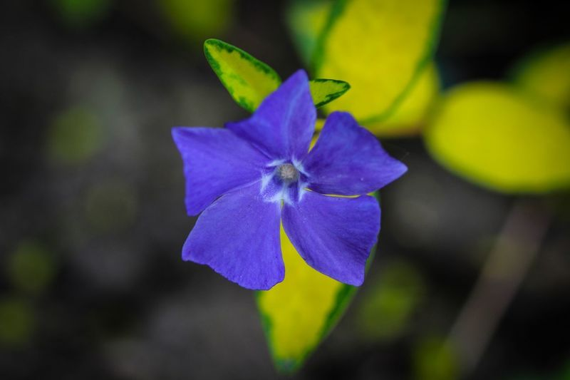 Beauty in Nature Beauty In Nature Flower Flowering Plant Fragility Vulnerability  Close-up Plant Petal Inflorescence Flower Head Freshness Growth Focus On Foreground Blue Purple No People Day Nature Leaf Outdoors