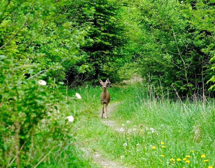 Animal Themes Deer Domestic Animals Field Forest Full Length Grass Green Color No People One Animal Reh