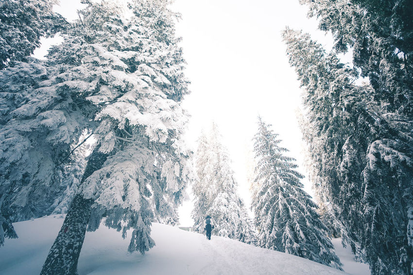 Beauty In Nature Cold Temperature Coniferous Tree Covering Day Environment Forest Land Mountain Nature No People Non-urban Scene Outdoors Pine Tree Plant Scenics - Nature Snow Snowcapped Mountain Tranquil Scene Tranquility Tree White Color Winter WoodLand
