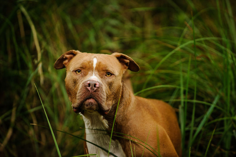 American Pit Bull Terrier dog outdoor portrait Horizontal Nature Pit Bull Animal Themes Brown Day Dog Domestic Animals Grass Growth Looking At Camera Mammal Natural Ears Nature No People One Animal Outdoors Outside Pets Photograph Pit Bull Terrier Pitbull Portrait Terrier Uncropped Ears