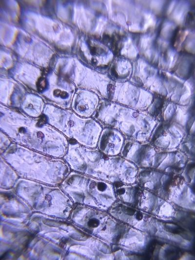 Onion cell under pinhole lens Cells Onion Nucleas Micro Microbiology Pinhole Plant Full Frame Plant Life Laboratory Equipment Bacterium Stem Pattern