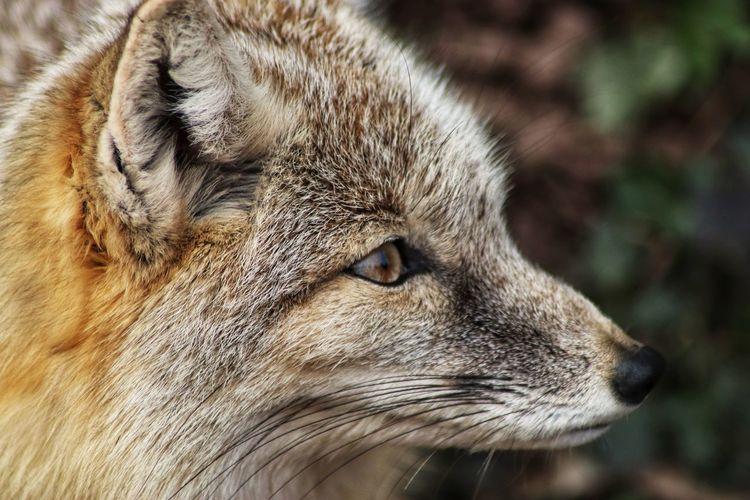 Fox No People