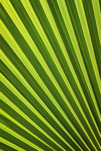 Backgrounds Beauty In Nature Close-up Day Frond Green Green Color Green Color Growth Leaf Leaf Vein Leaf 🍂 LINE Lines Nature No People Outdoors Palm Palm Tree Pattern Photosynthesis Plant Vertical