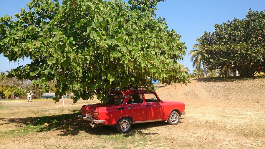 Tree Transportation Red Day Outdoors No People Sky Car Cuban Style Cuban Life Cuba Travel Travel Photography Travel Destinations EyeEm Eye4photography