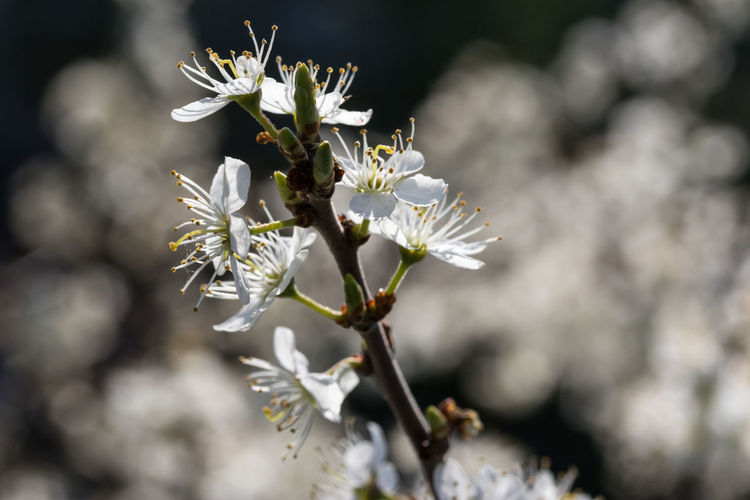 White flowers Flower Flowering Plant Fragility Growth Plant Freshness Vulnerability  Beauty In Nature Day No People Flower Head Nature Close-up White Color Petal Focus On Foreground Selective Focus Inflorescence Springtime Blossom Outdoors Pollen Cherry Blossom
