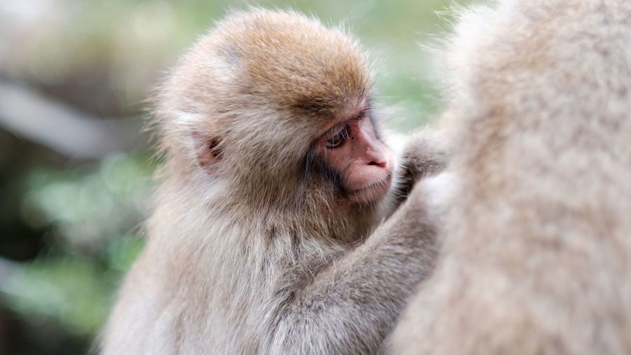 A closeup of a child monkey, thoroughly checking and cleaning his mother's for fleas, nagano, japan.