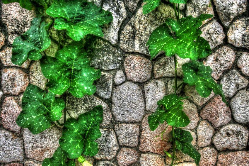 Herbaceous Plant Ocho Rios, Jamaica Wall Climbing Plant Cut Stone Wall Herbaceous Perennial Jamaica Vine