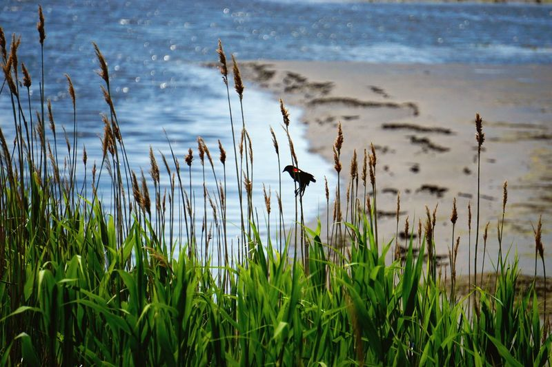 Red-Winged Blackbird Perching On Plant At Beach