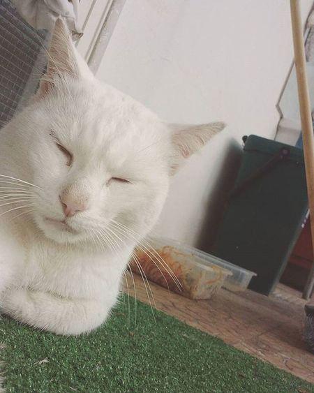 Che boss Mafia  Cat Photo