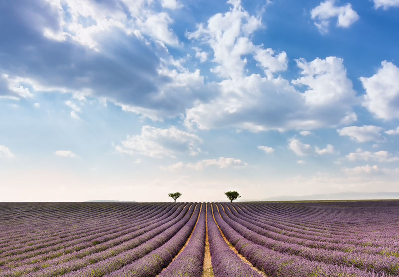 Lavender field in Provence Agriculture Beauty In Nature Cloud - Sky Composition Day Field Freshness Growth Landscape Lavender Lavender Field Nature No People Outdoors Perfume Plant Pro Purple Rural Scene Scenics Simmetry Sky South Of France Tranquil Scene Tranquility Sommergefühle Lost In The Landscape