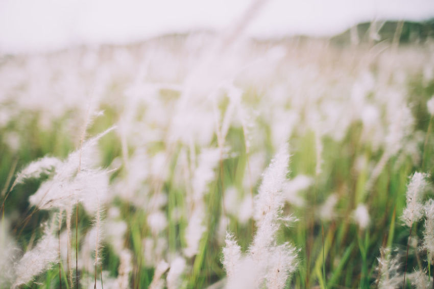Agriculture Beauty In Nature Close-up Crop  Day Environment Farm Field Freshness Growth Land Landscape Nature No People Outdoors Plant Rural Scene Selective Focus Silence Of Nature Silent Moment Tranquility White Color