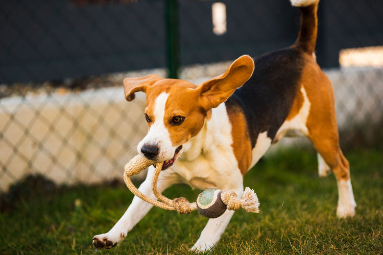 Happy beagle dog running with flying ears towards camera. activ dog concept