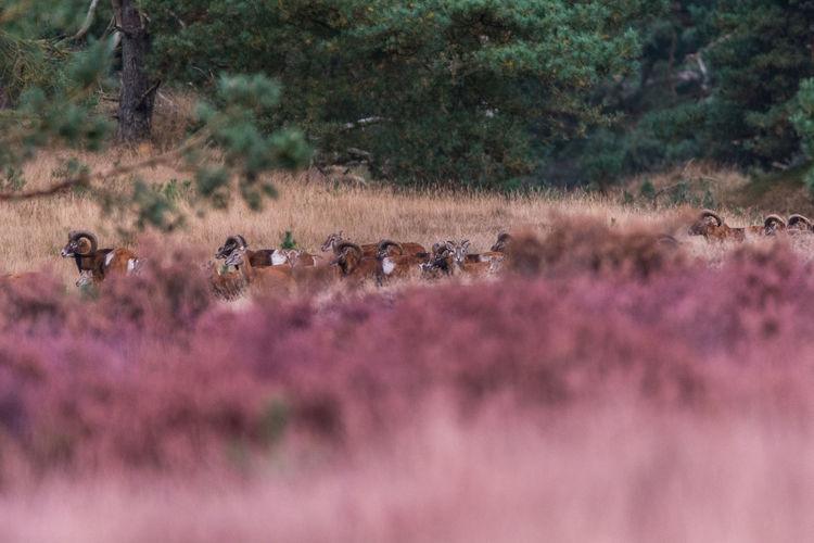 View Of Antelope Herd On Field
