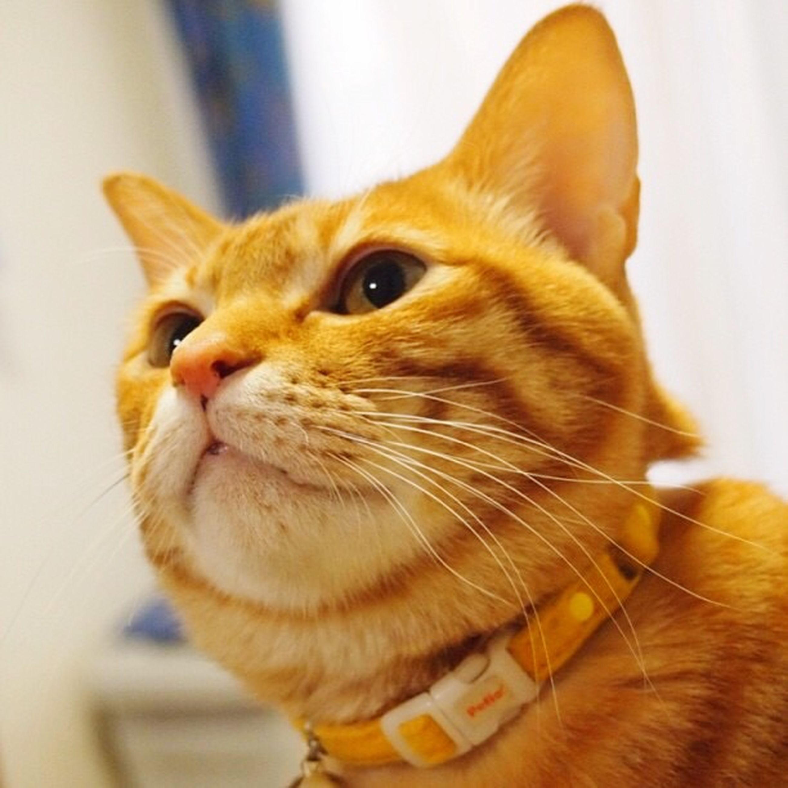 domestic cat, pets, domestic animals, one animal, feline, whisker, animal themes, mammal, indoors, close-up, no people, portrait, day, ginger cat