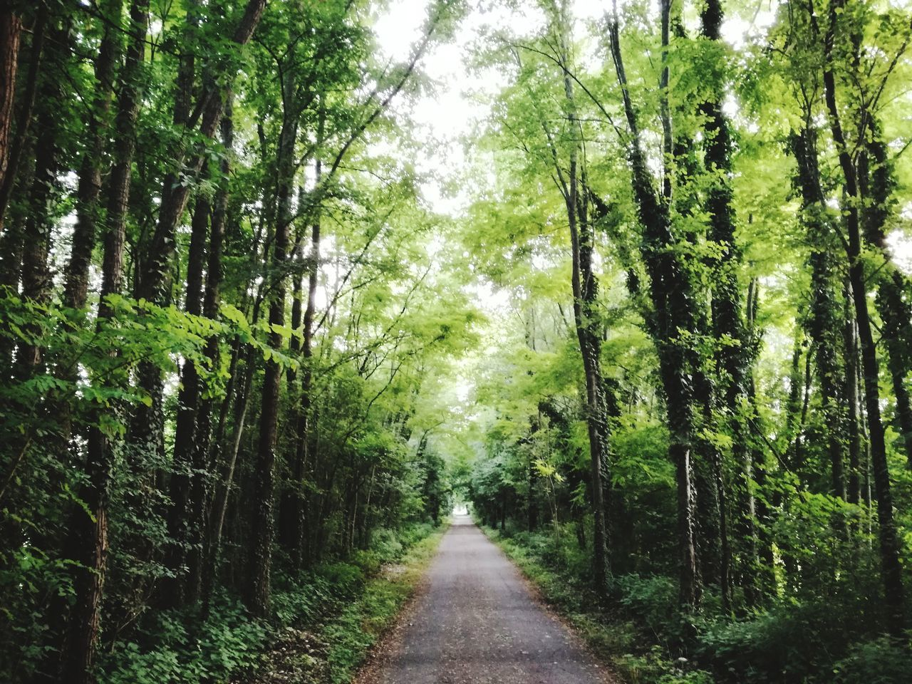 the way forward, plant, forest, direction, tree, land, diminishing perspective, green color, beauty in nature, nature, tranquility, growth, road, tranquil scene, day, no people, transportation, non-urban scene, woodland, scenics - nature, outdoors, bamboo - plant, treelined, long