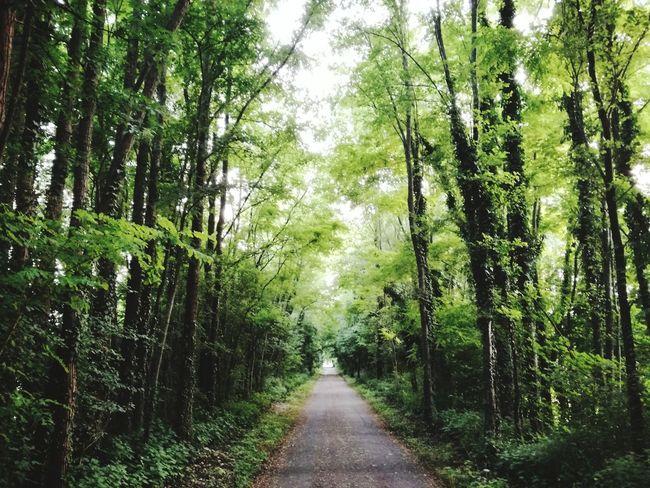 Bamboo - Plant Bamboo Grove Sky Pathway Dirt Track Narrow Walkway Countryside The Way Forward Long Lane Woods Green Treelined Greenery