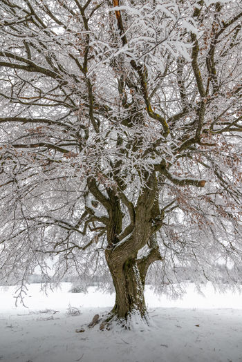 Bare tree in snow during winter