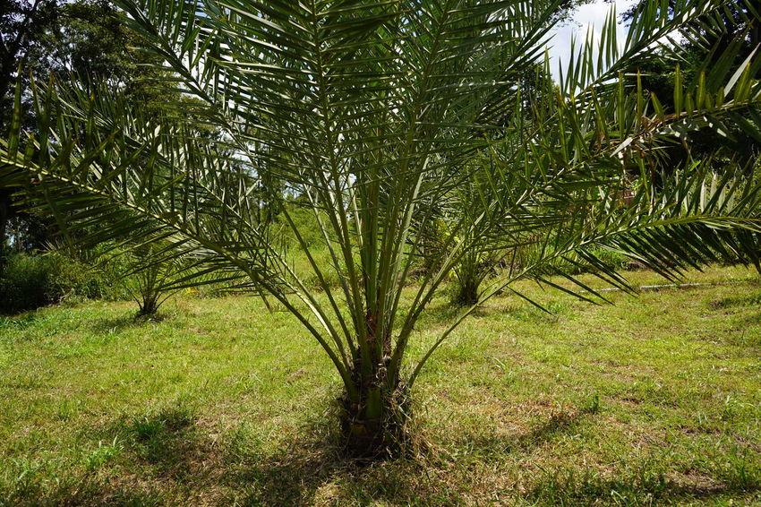 Barhi Dates Dates On Date Palm Barhi Date Palm Date Palm Garde Date Palm Tree Date Palms Palm Tree Tree
