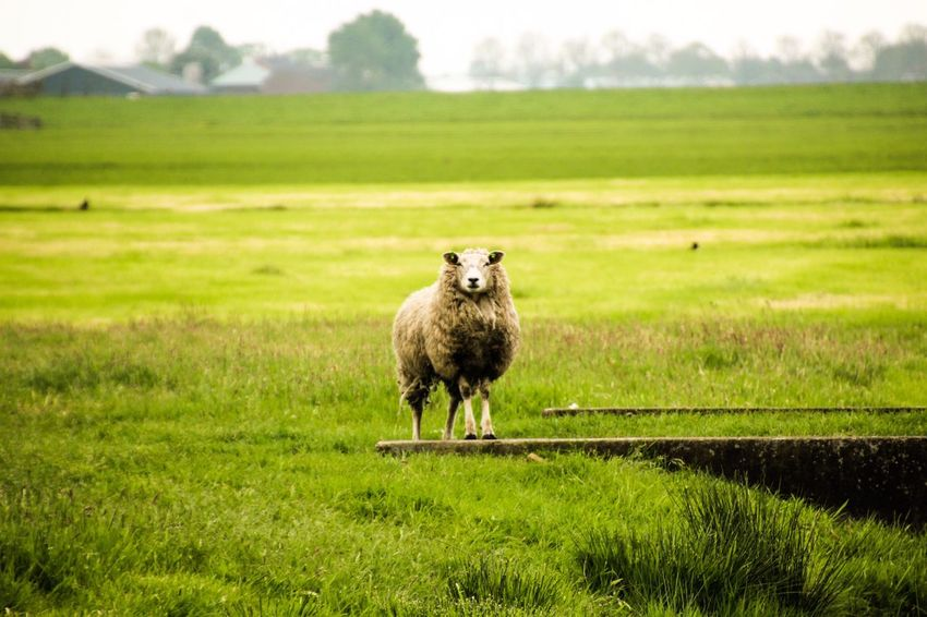 Nature Netherlands Landscape Wildlife Owenolix Photography Followme Today's Hot Look Schaap Green Lovely Hello World Like That's Me Check This Out Taking Photos Europe Shine Dutch Landscape Hiking Nature Photography Summervibes Bike Life Enjoying Life