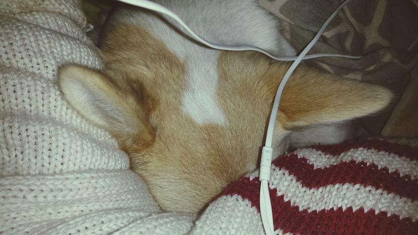My little sleepy princess Dog Cihuahua Sleeping Love Night