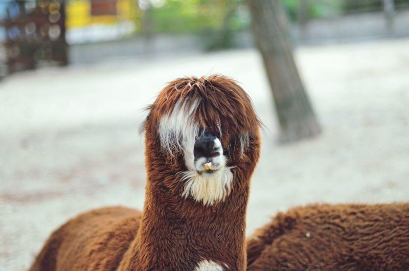Hello World Lama Zoo
