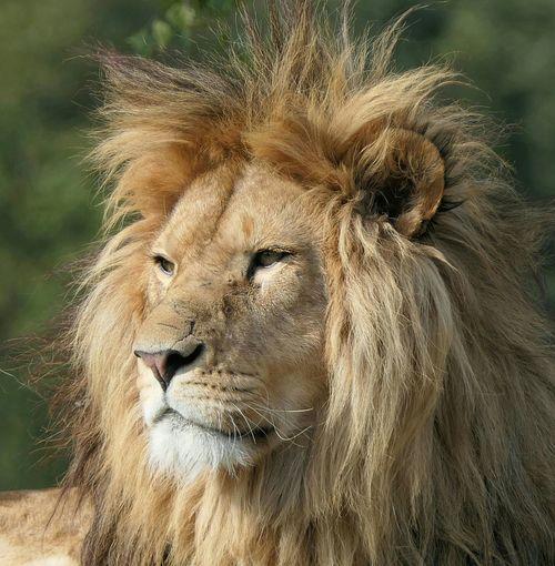 Beekse Bergen Beeksebergen Portretfotografie Leeuw Portrait Close-up Big Cat Safari Animals Lion