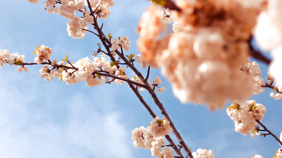 Plant Tree Fragility Freshness Growth Vulnerability  Flowering Plant Branch Flower Blossom Beauty In Nature Low Angle View No People Sky Nature Day Springtime Close-up Selective Focus Cherry Blossom Outdoors Cherry Tree
