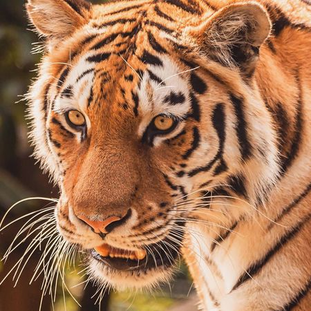 Whiskers Tiger Stripe Tiger Face Natural Beauty Naturelovers Nature Photography Nature_collection Nature Animal Wildlife One Animal Animals In The Wild Tiger Animal Head  Animal Themes Close-up Mammal