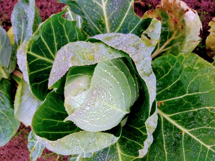 Beauty In Nature Cabbage Close-up Drop Fresh Freshness Green Color Growth Leaf Nature Outdoors Plant Rainy Season Vegetable Vegetable Garden Vegetable Garden In The Wintertime Vegetable Gardening Water Wet
