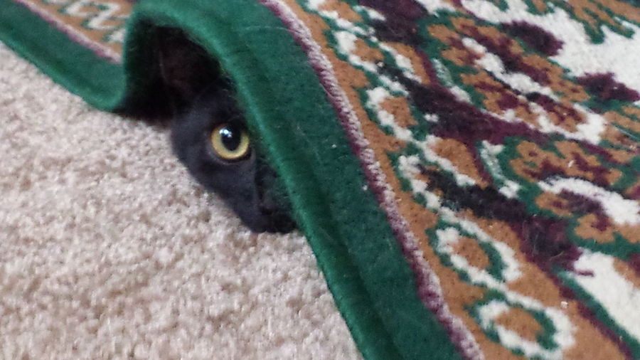 Black Cat Animal Themes Cat Hiding Cat Peeking Cat Under Rug Close-up Day Dog Domestic Animals Looking At Camera Mammal Nature No People One Animal Outdoors Pets Portrait