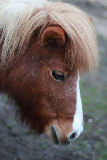 Close up of shetland pony